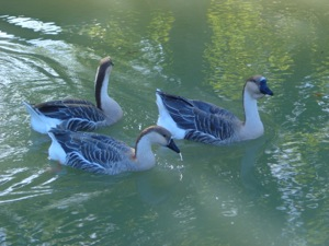 The geese of Montgiscard